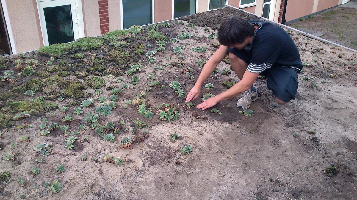 Sempervivum tectorum och Sedum acre planteras på vindskyddets gröna tak. Sedumtaket gör det mycket behagligare för barnen att sova undertill, utan smattrande ljud från regn och ugnsvärme från t ex ett plåttak.