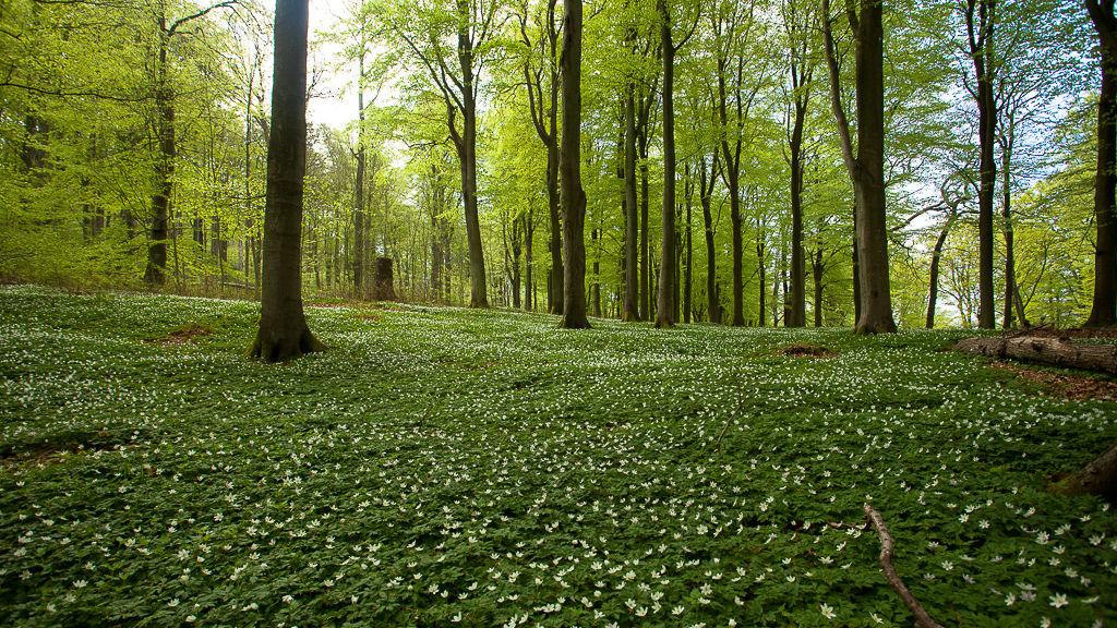 Bokälskare bör besöka Maglehems ora norr om Brösarp. Ett av Skånes största områden med Bokskog.