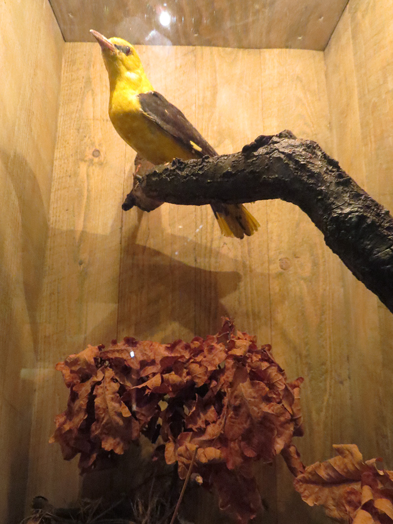 Sommargyllingen hörs flöjta bland dungarna med början de sista veckorna av maj och under juni månad. Lyssna nedan! Foto: Jan Jonasson, Havängs museiförening