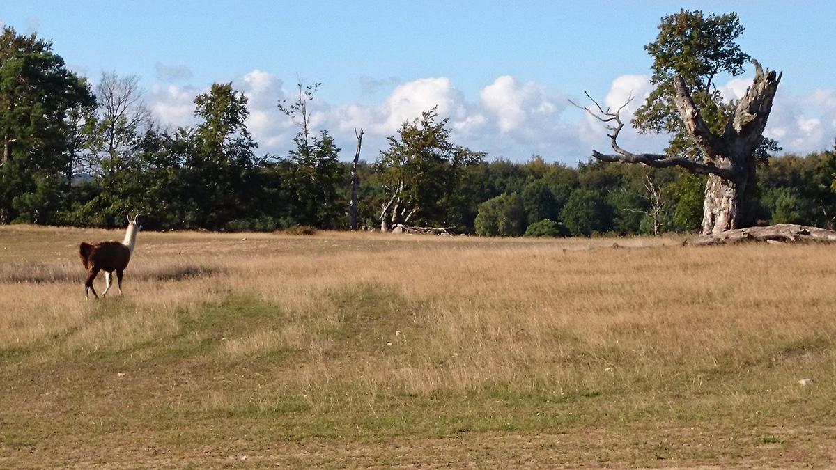Precis som på Pampas går det lamadjur på Haväng. Foto: Fabian Rimfors
