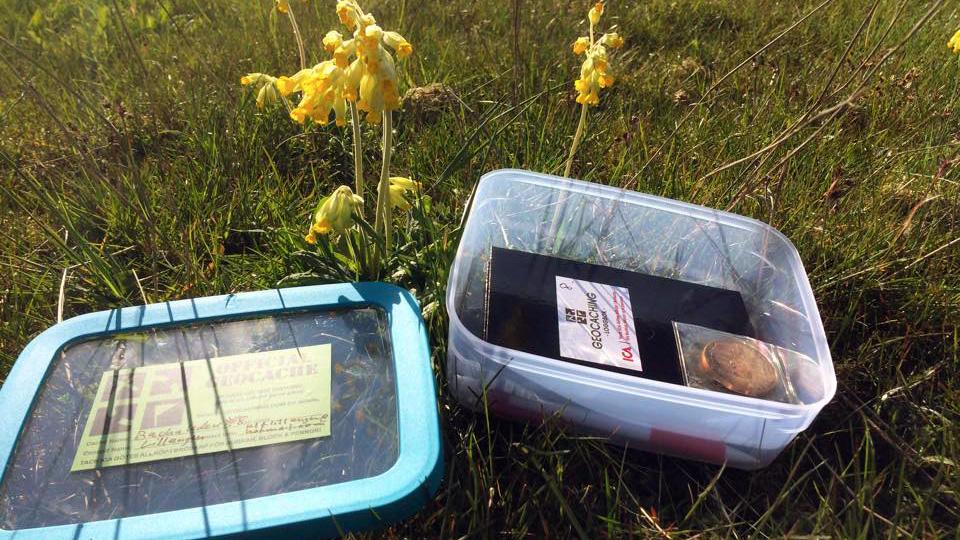 Tvenne skatter: Primula veris och geocaching. Foto: Ulf Lillängen