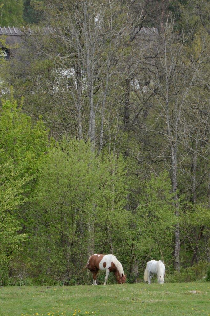 Bland gullvivorna och spirande träd betar både hästar och kor. Foto: Hanseric Jonsgården