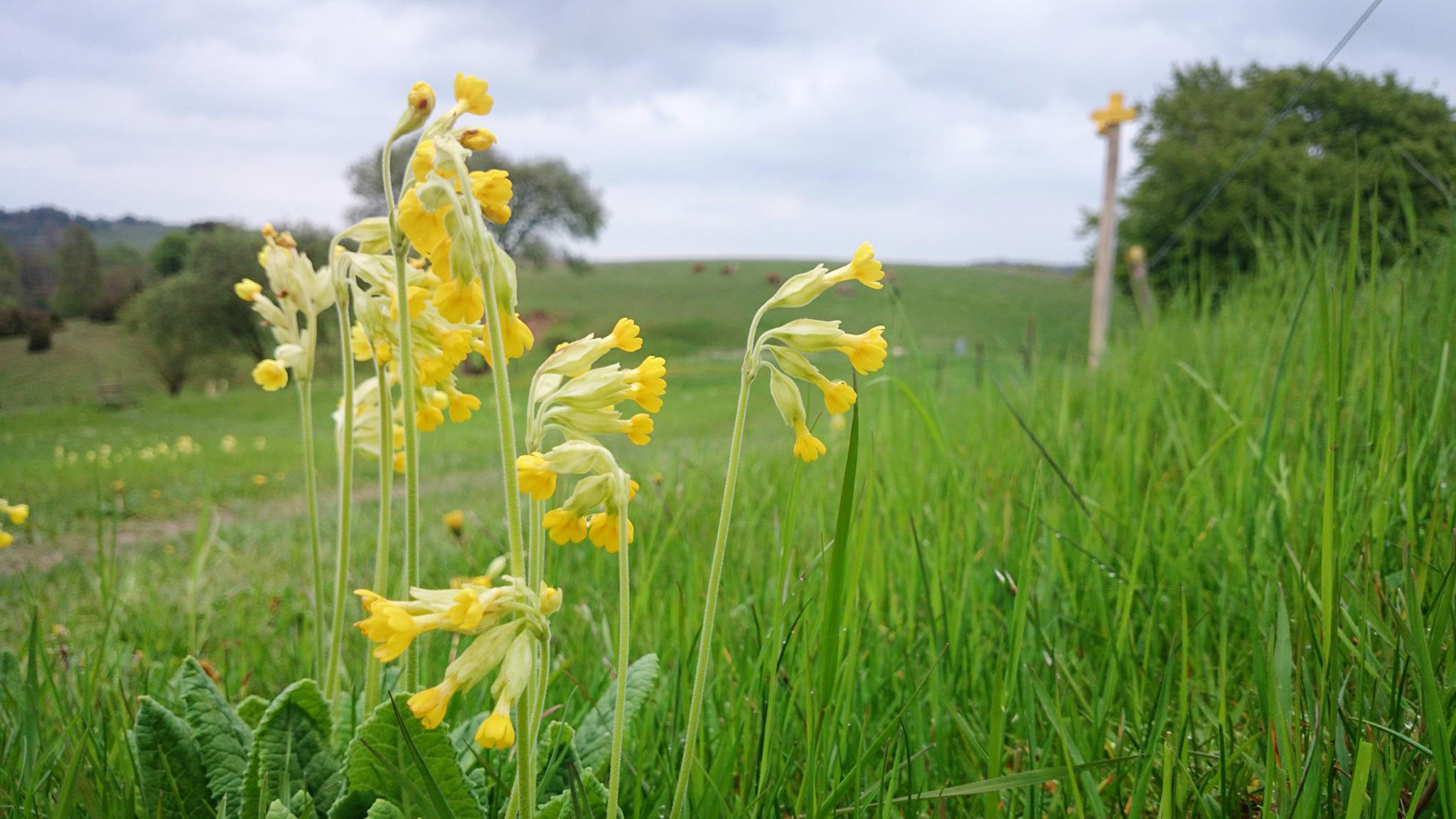 Gullvivor blommar i Brösarps södra backar.