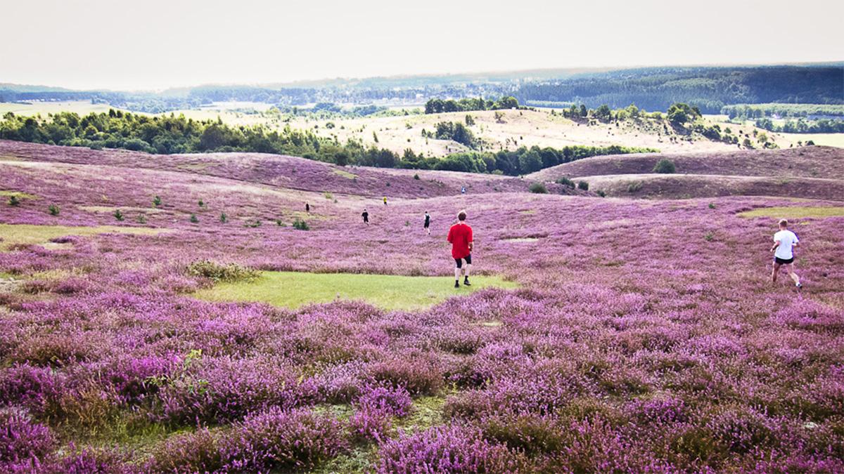 Det finns en tid på året då Brösarps norra backar sprakar av lila ljung.