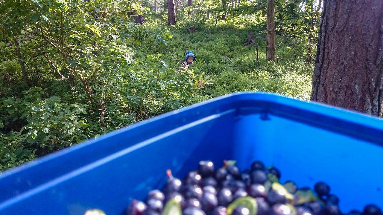 Putte i blåbärsskogen utanför Brösarp.