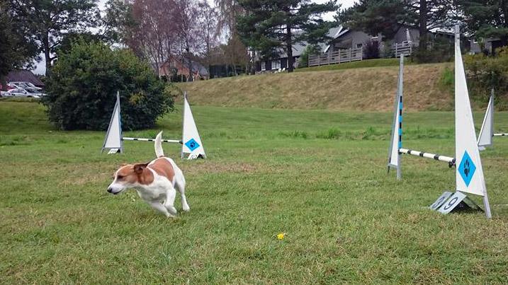 Hundar hade agilityuppvisning.