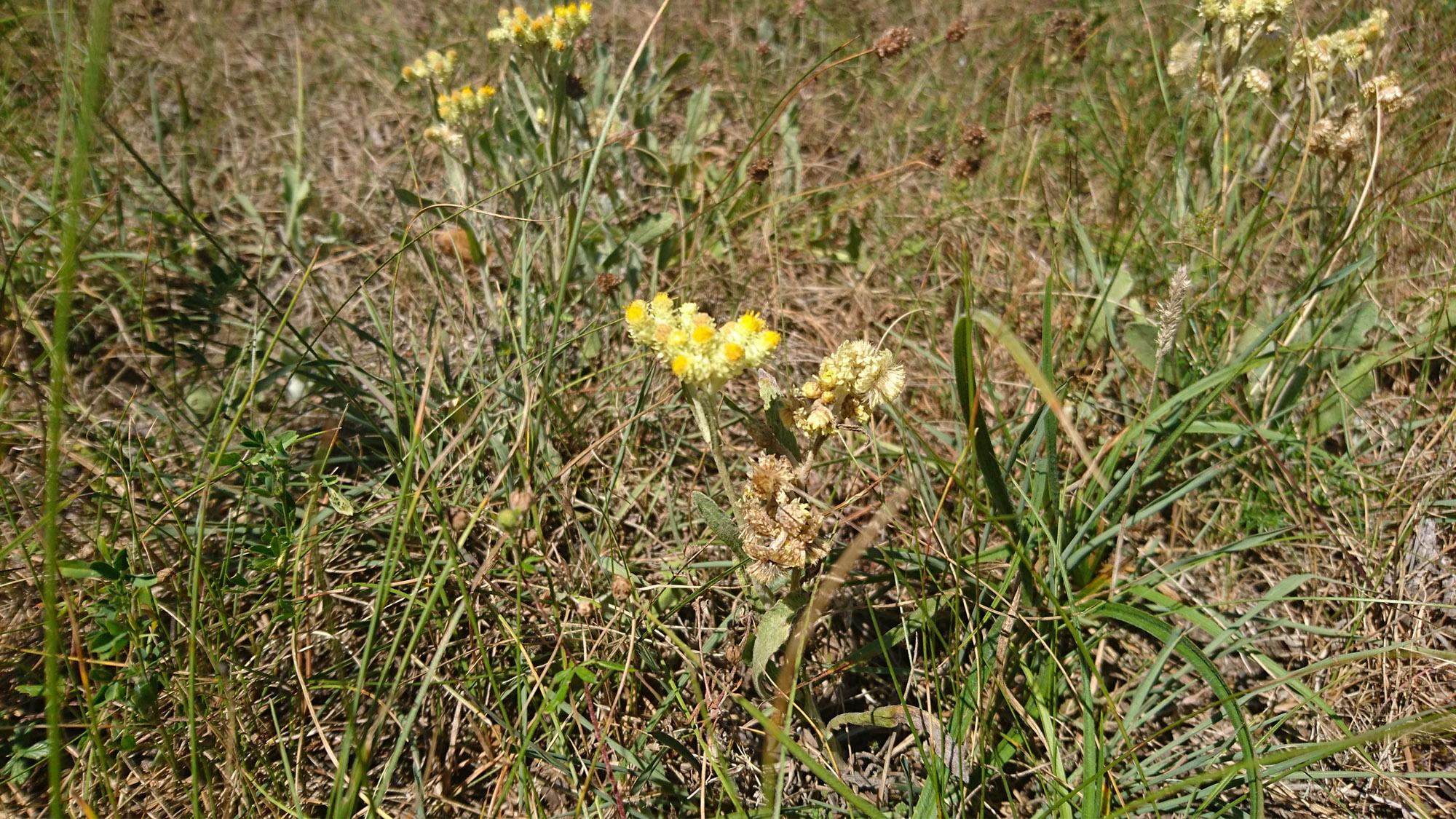 I Brösarps backar trivs den fridlysta hedblomster, Helichrysum arenarium (L.) Moench.
