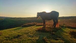 Islandshästarna verkar trivas i kvällssolen.