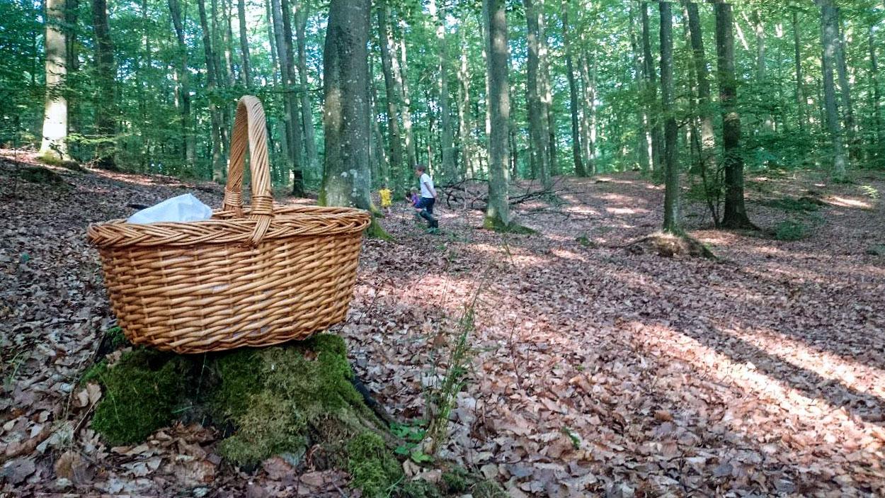 Med lite tur och envishet kan man fylla korgen med svamp från bokskogarna runt Brösarp.