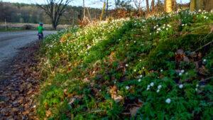 Nu blommar vitsipporna på väg ner mot Bosarp.